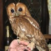 Tegan one of the many Tawny owls we take in